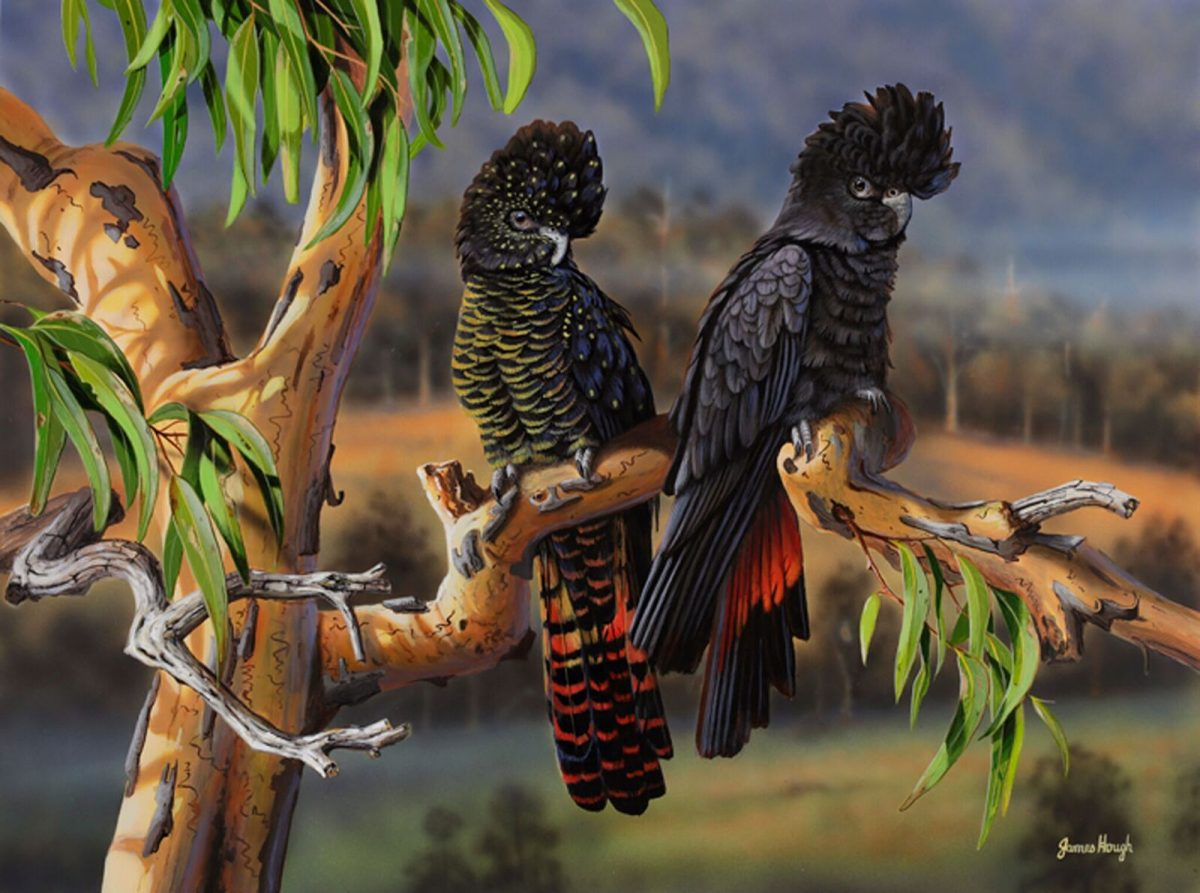 Black Cockatoo Painting James Hough